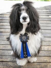 Mio - Hund - Portugisisk vattenhund