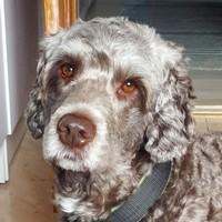 Aslan - Hund - Portugisisk vattenhund