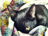 Myszis - Katt - Huskatt