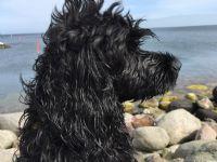 Minou - Hund - Portugisik Vattenhund