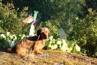Sassi - Hund - Strävhårig dvärgtax