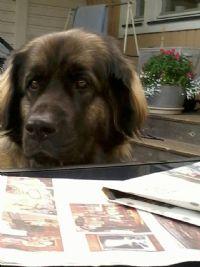 Elva - Hund - Leonberger