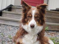 Zackie - Hund - Border Collie
