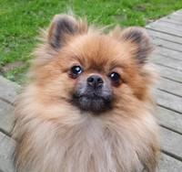 Kotten - Hund - Pomeranian