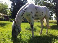 Atlas - Häst - Appaloosa