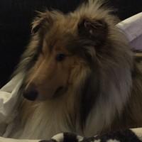 Halo - Hund - Collie