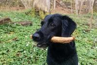 Meg - Hund - jaktlabrador